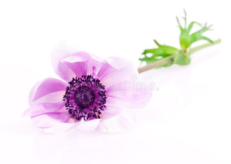 紫色银莲花属 免版税库存图片