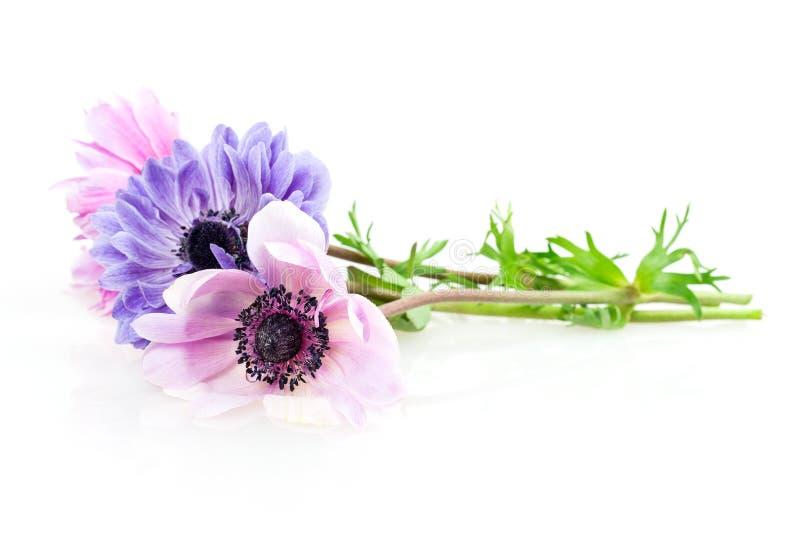 紫色银莲花属 免版税库存照片