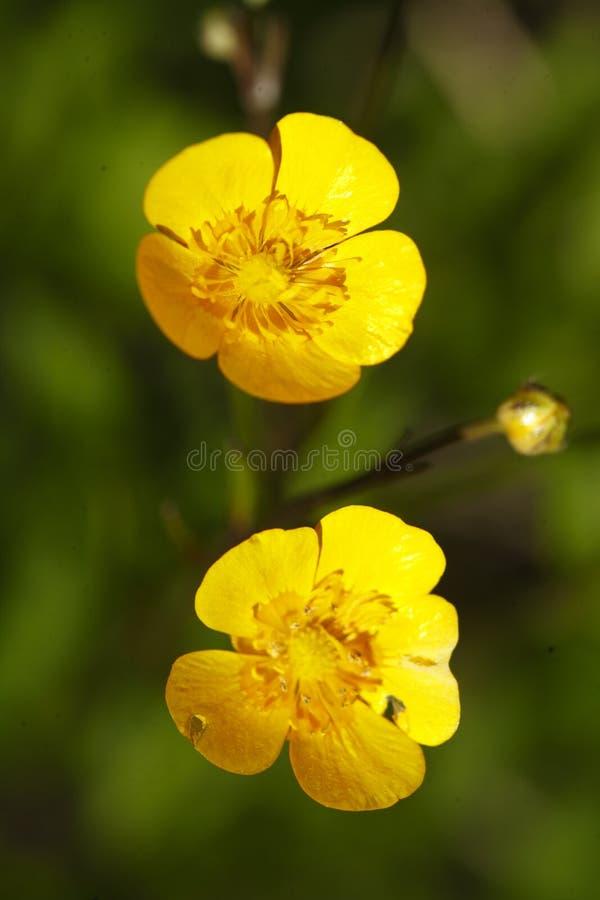 黄色银莲花属 库存照片