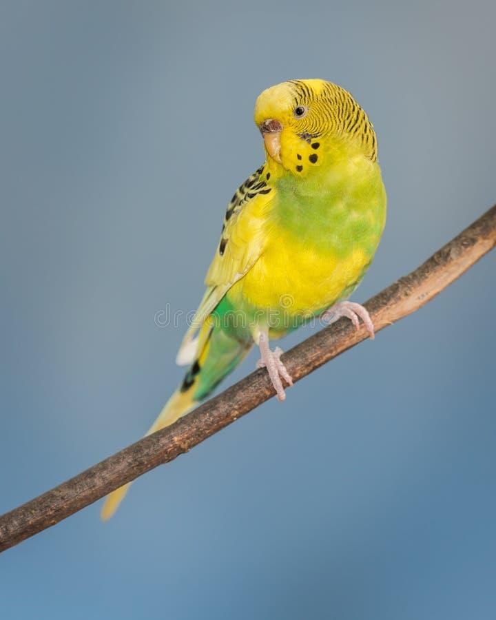 黄色长尾小鹦鹉 库存照片
