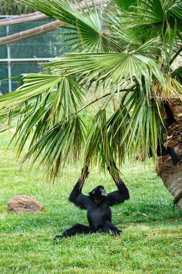 黑色长臂猿在动物园里 免版税库存图片