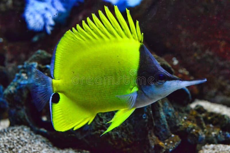 黄色长头蝴蝶鱼充分的身体 库存照片