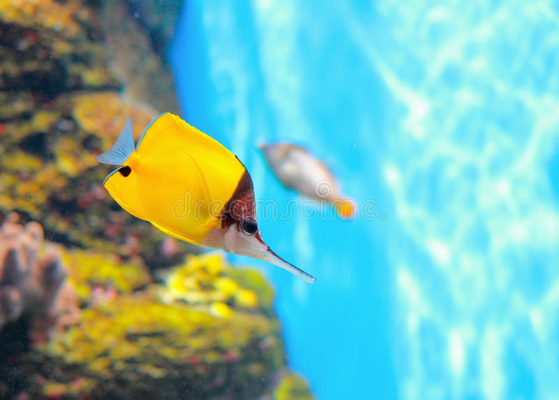 黄色长头蝴蝶鱼Forcipiger flavissimus 库存图片