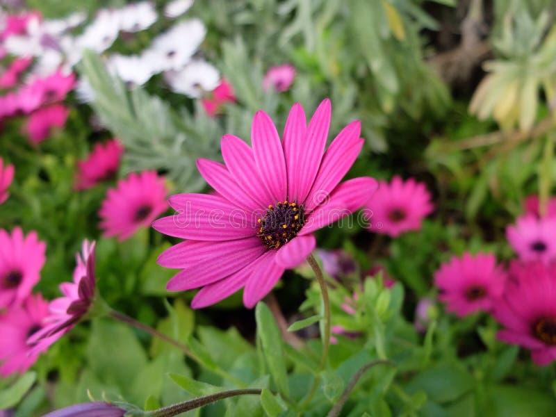 紫色雏菊 免版税库存照片