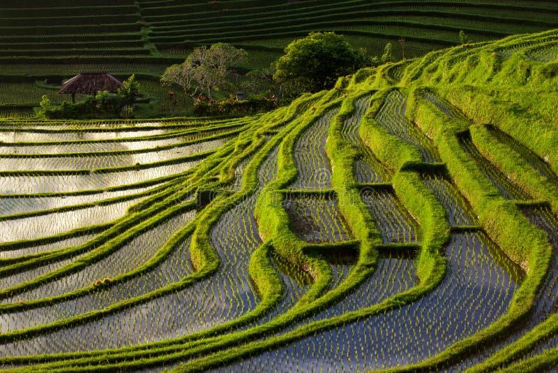 绿色露台的米领域在巴厘岛,印度尼西亚 免版税库存图片