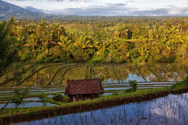 绿色露台的米领域在巴厘岛,印度尼西亚 库存图片