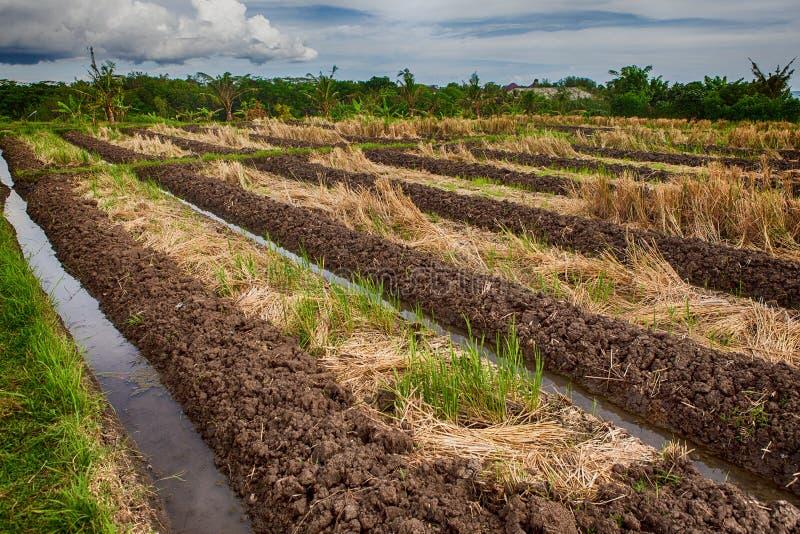 绿色露台的米领域在巴厘岛,印度尼西亚 免版税图库摄影