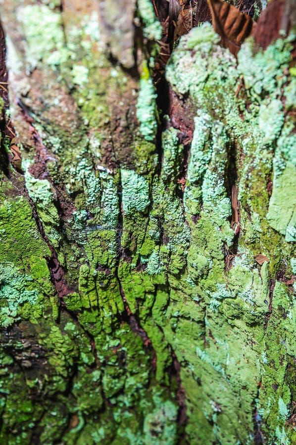 绿色青苔盖的分解的树皮 库存图片