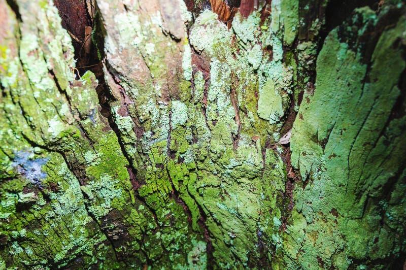绿色青苔盖的分解的树皮 免版税库存图片