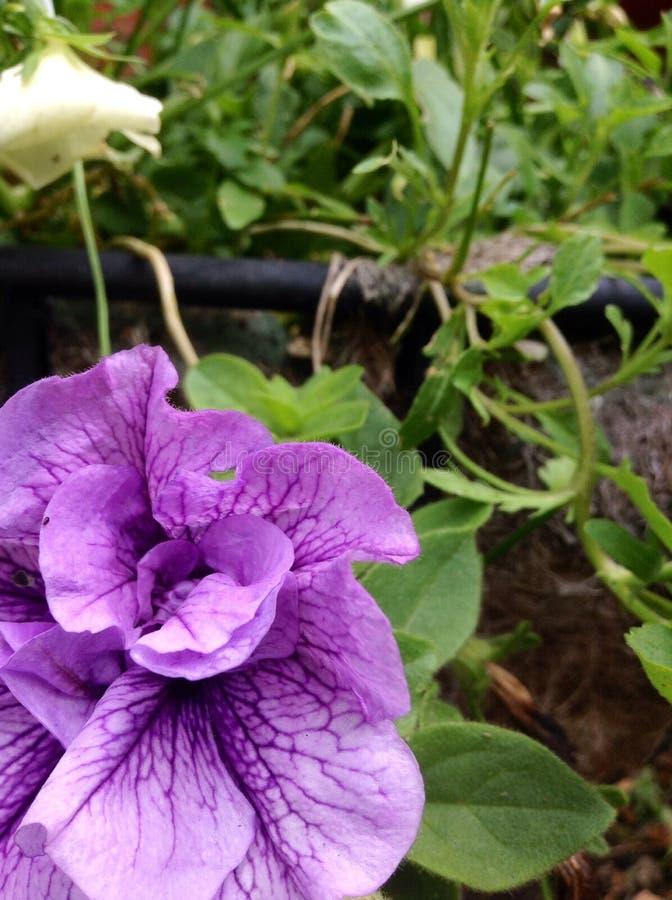 紫色静脉 库存照片