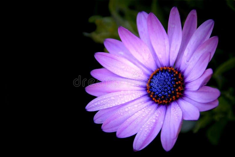 紫色非洲雏菊在庭院在blac的Osteospermum Ecklonis里 免版税库存图片