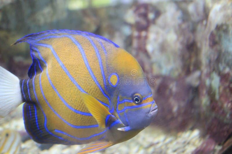黄色面具神仙鱼 免版税图库摄影
