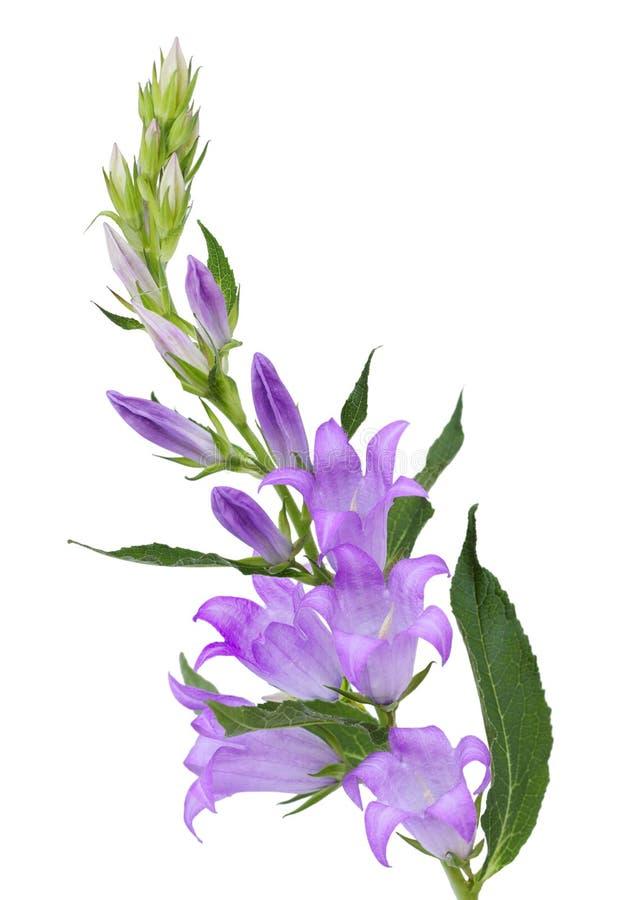 紫色风轮草花 库存图片