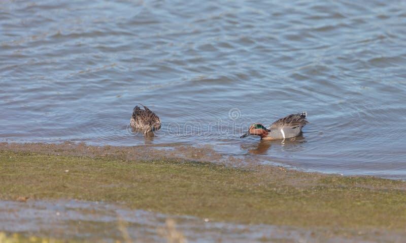 绿色飞过的小野鸭,语录crecca 库存图片