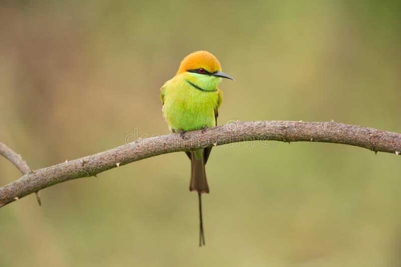 绿色食蜂鸟 库存图片