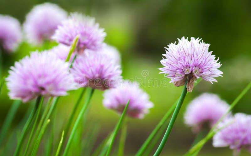 紫色香葱开花在夏天庭院里 免版税库存照片