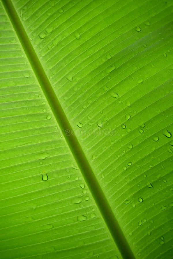 Download 绿色香蕉叶子和下落下雨自然摘要背景 库存图片. 图片 包括有 生活, 掌上型计算机, 照亮, 春天, 抽象 - 59112199