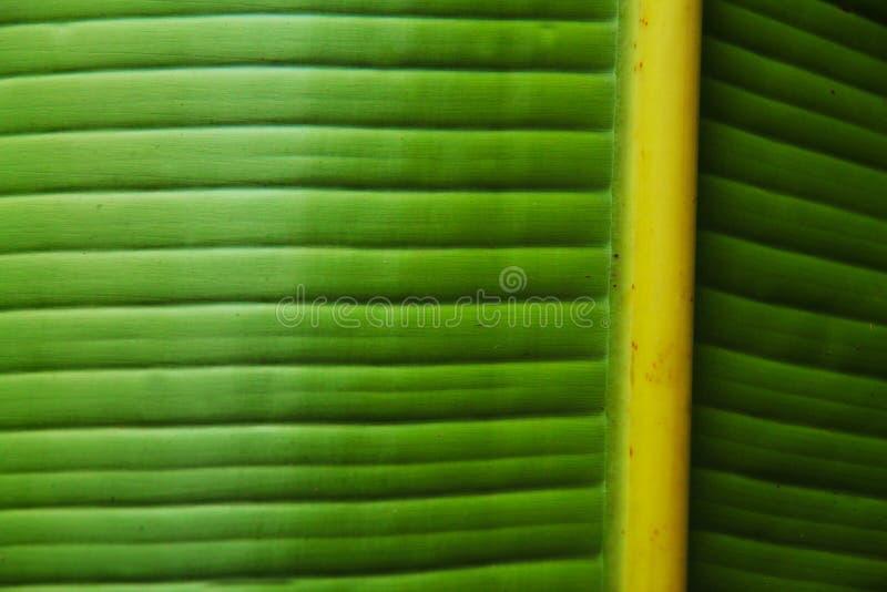 绿色香蕉叶子特写镜头 库存照片
