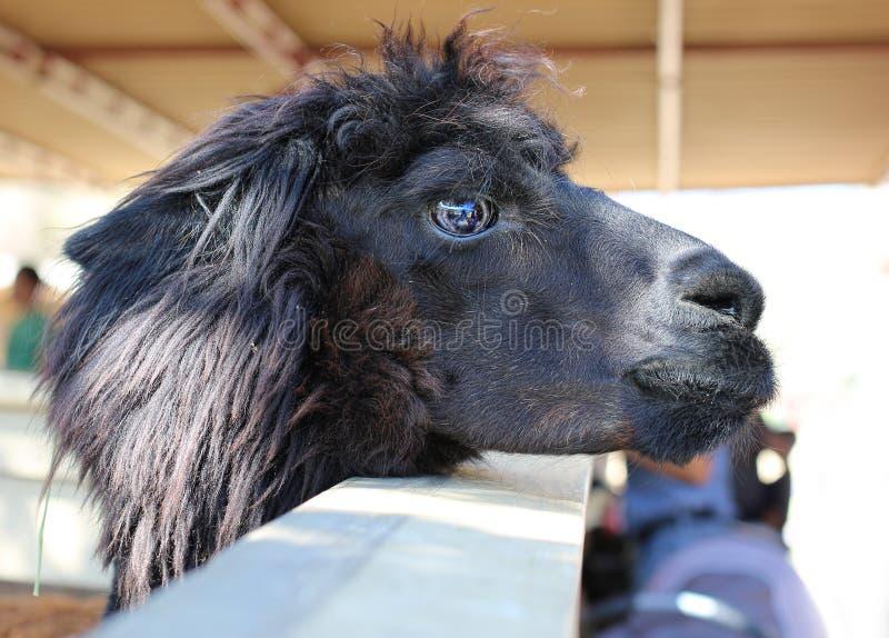 黑色骆马 库存图片