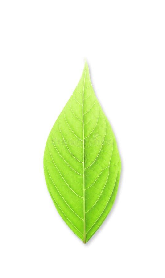绿色高查出的叶子解决方法白色 图库摄影