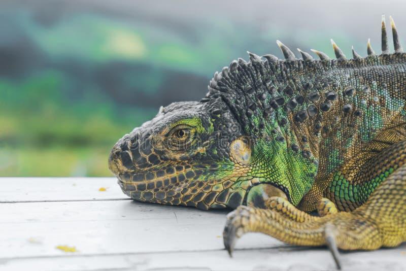 绿色鬣鳞蜥外形细节有绿色背景 蜥蜴` s头特写镜头视图 小野生动物看起来龙 免版税库存图片