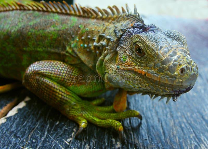 绿色鬣鳞蜥查出的蜥蜴 库存照片