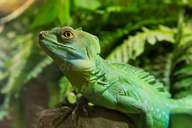 绿色鬣鳞蜥爬行动物 库存照片