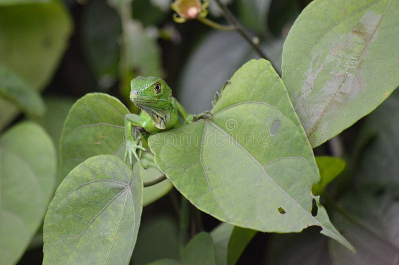 绿色鬣鳞蜥青少年 免版税库存图片