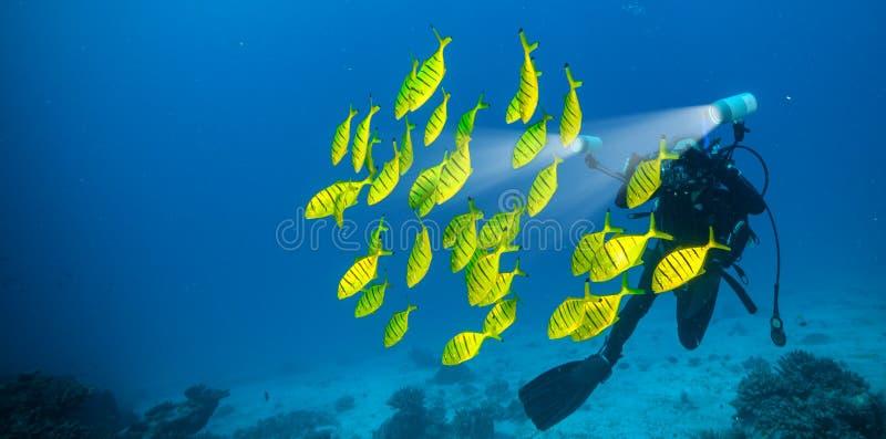 黄色鱼群与轻潜水员摄影师的 库存图片