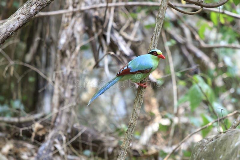 绿色鸟(共同的绿色鹊),泰国的鸟 免版税库存照片