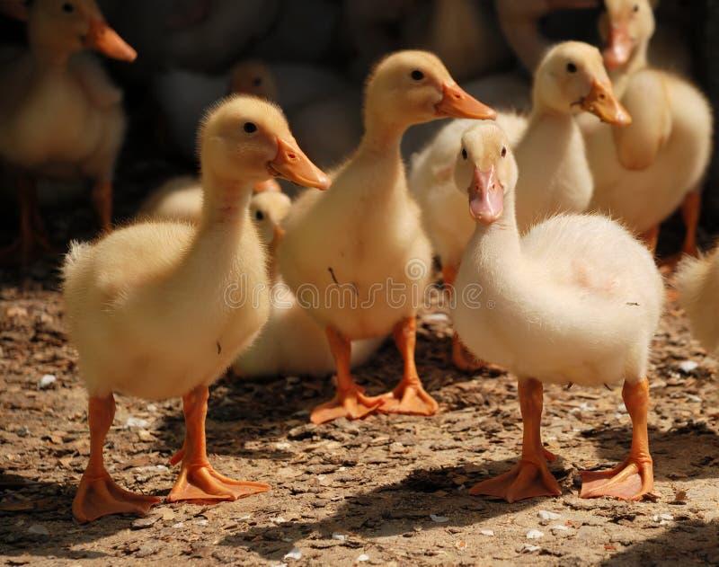 黄色鸭子 免版税图库摄影
