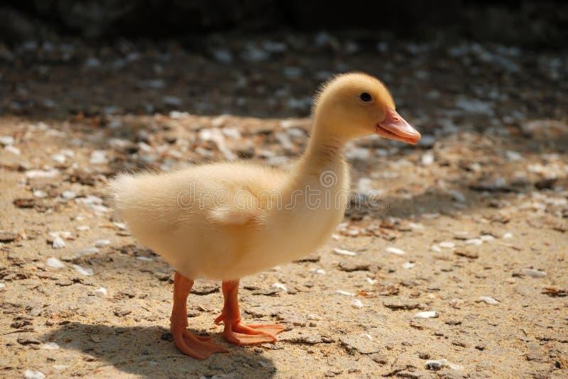 黄色鸭子 免版税库存图片