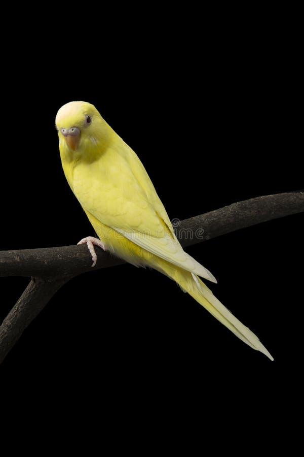 黄色鹦鹉在分支。 免版税库存照片