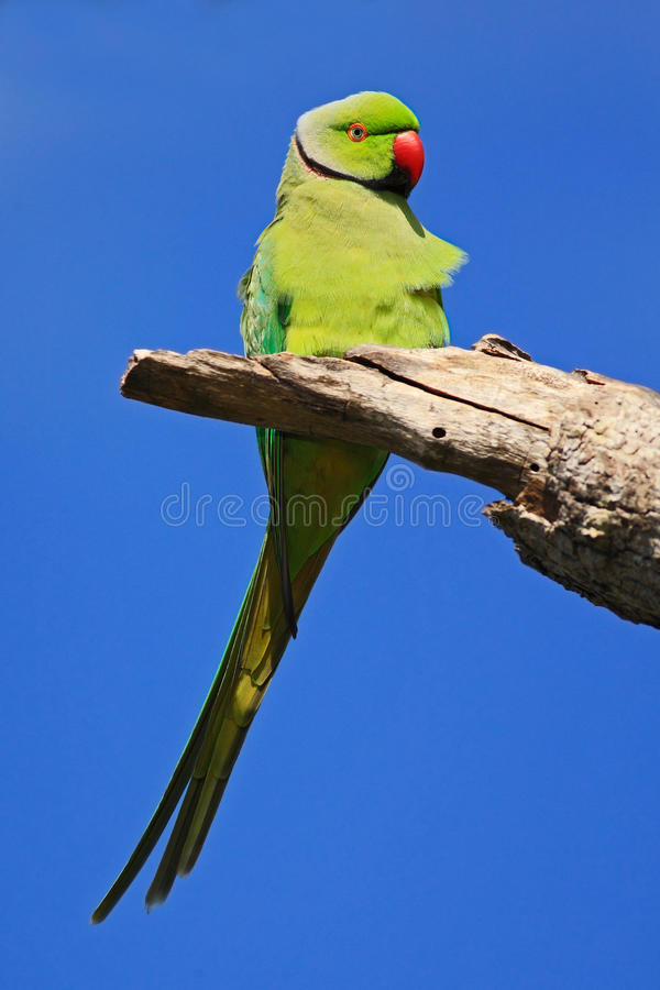 绿色鹦鹉坐与蓝天的树枝 罗斯圈状的长尾小鹦鹉, Psittacula krameri,在自然的美丽的绿色鹦鹉 库存照片
