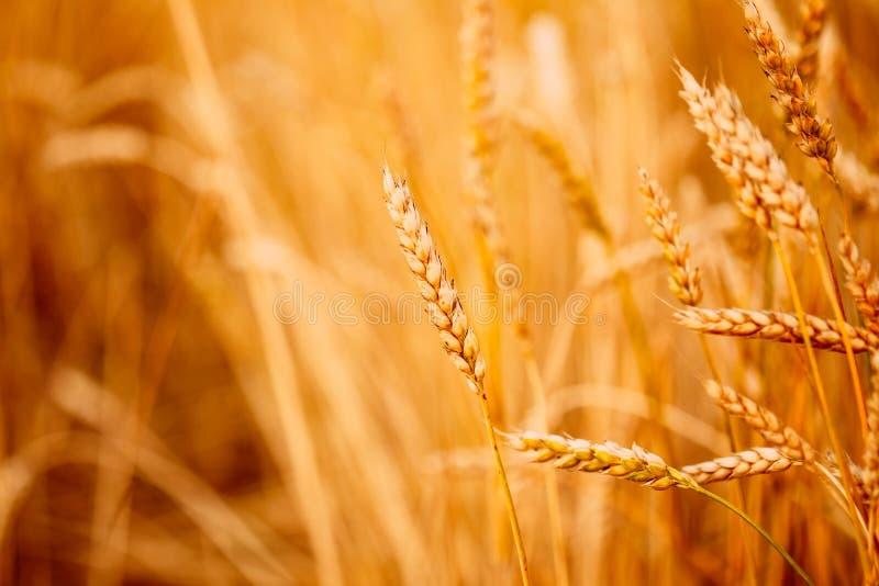 黄色麦子耳朵 免版税库存照片