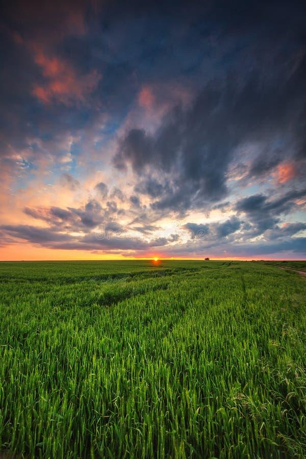 绿色麦田,日落射击 免版税图库摄影