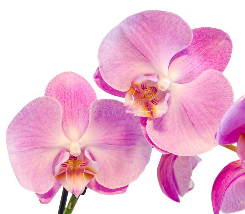 紫色,桃红色分支兰花开花与绿色叶子,兰科,叫作蝴蝶兰的兰花植物,省略的Phal 图库摄影
