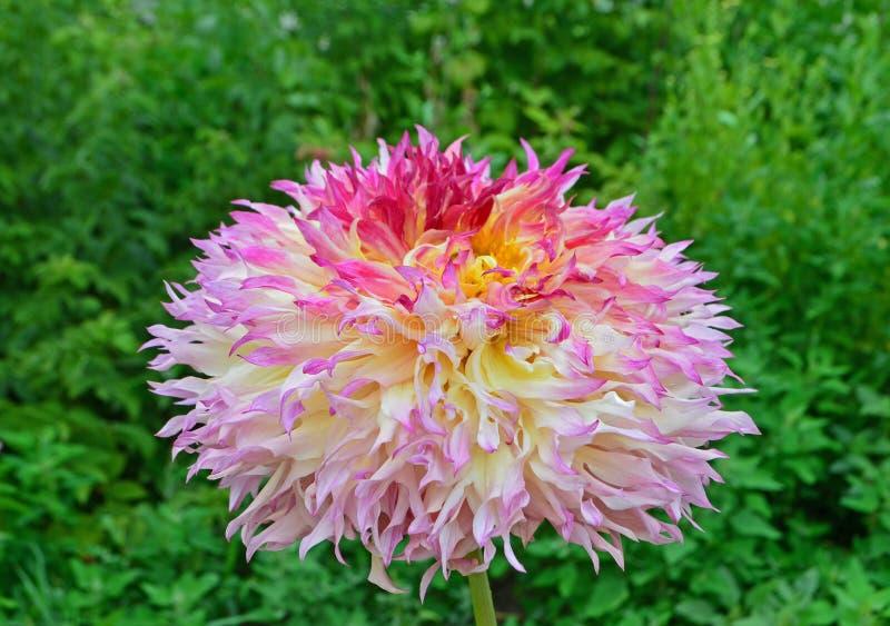 黄色,桃红色和橙色大丽花花在庭院里 免版税库存图片