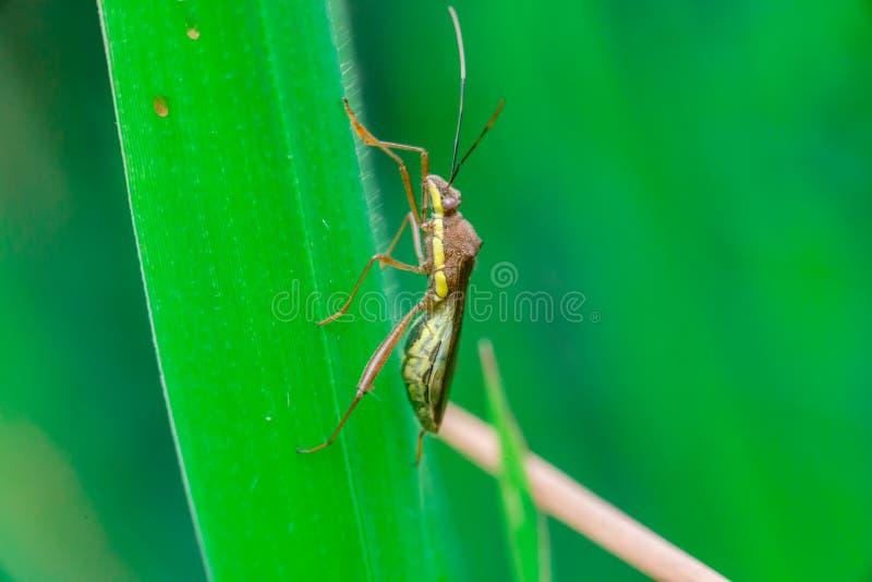 绿色,棕色和黄色镶边猎蝽 免版税库存照片