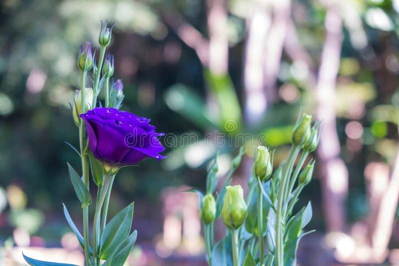 紫色,蓝色玫瑰在庭院里 免版税库存图片