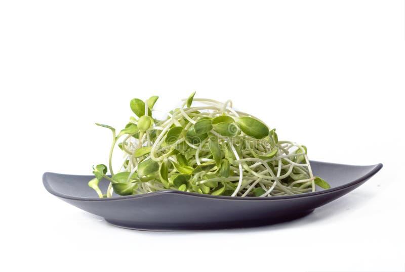绿色年轻向日葵在白色隔绝的碗发芽 免版税库存照片