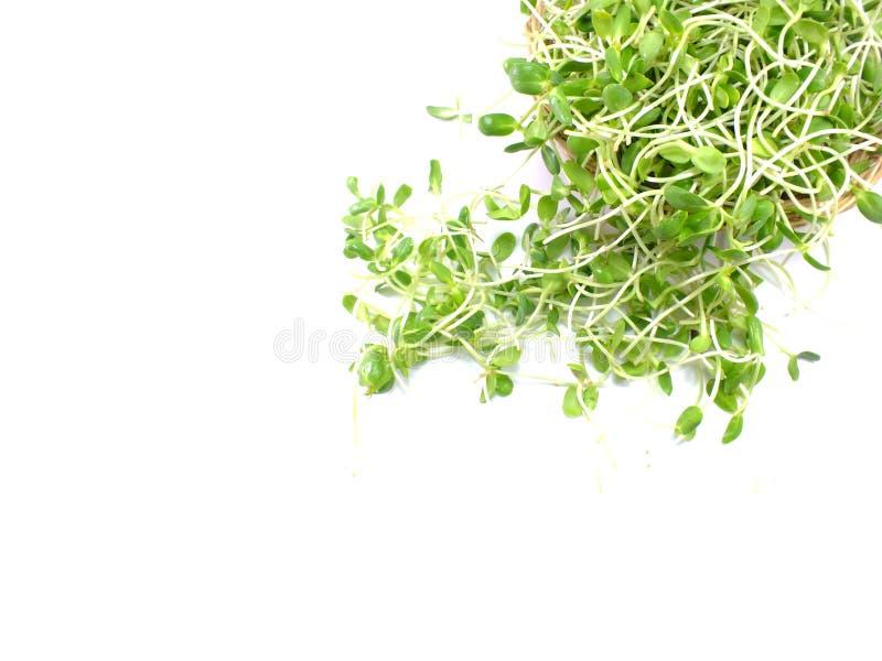 绿色年轻向日葵在白色隔绝的篮子发芽 免版税图库摄影