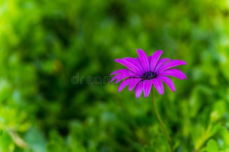 紫色延命菊, Osteospermum 免版税库存图片