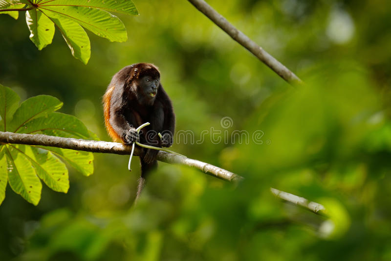 黑色猴子 被覆盖的吼猴Alouatta palliata在自然栖所 哺养在森林在t的黑色猴子的黑猴子 免版税图库摄影