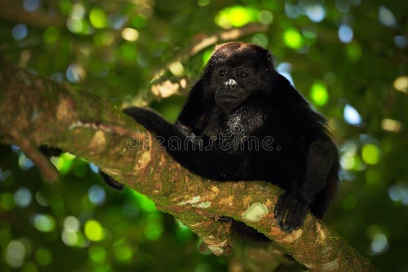 黑色猴子 被覆盖的吼猴Alouatta palliata在自然栖所 在森林黑色猴子的黑猴子在树 免版税图库摄影