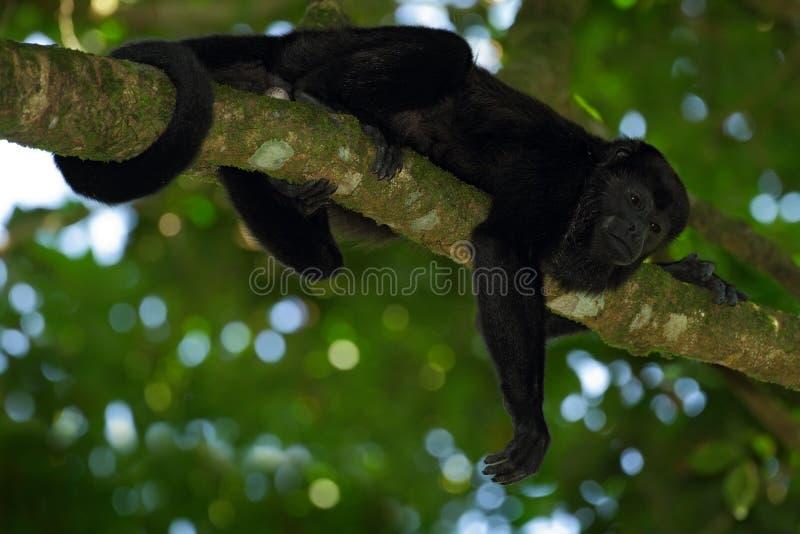 黑色猴子 被覆盖的吼猴Alouatta palliata在自然栖所 在森林黑色猴子的黑猴子在树 免版税库存图片