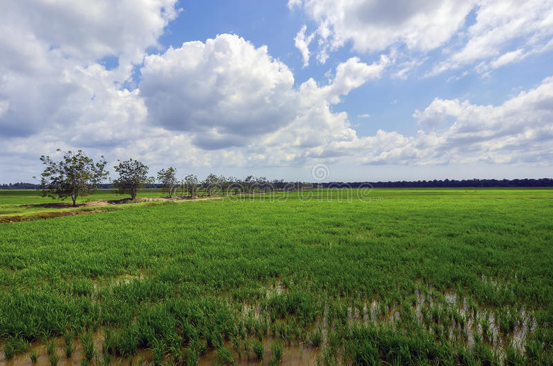 绿色稻归档了与树和蓝天风景在马来西亚 照片拍摄时间: november 01图片