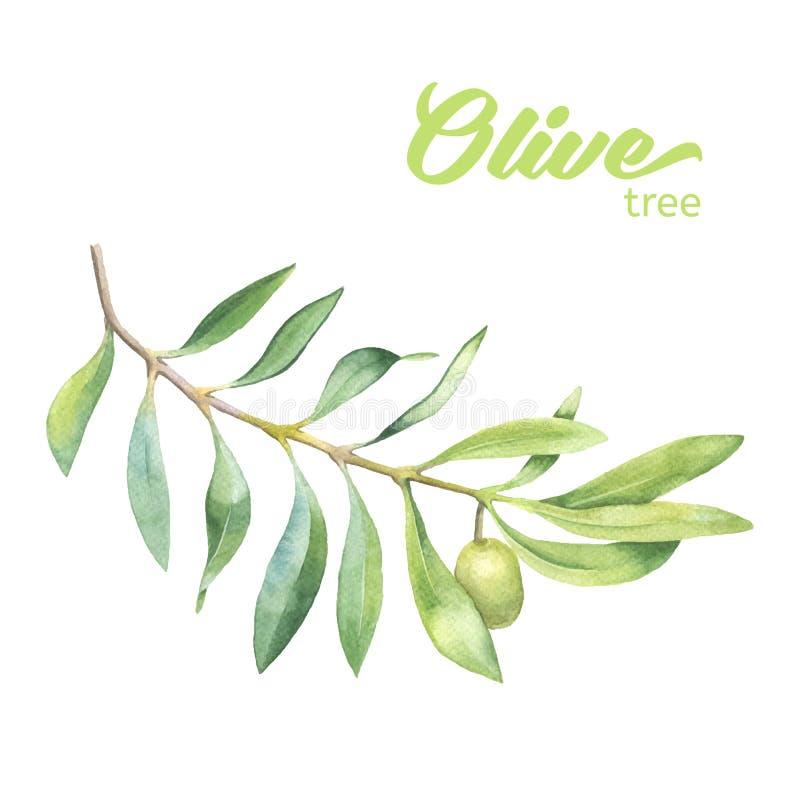 绿色水彩橄榄树枝 库存例证