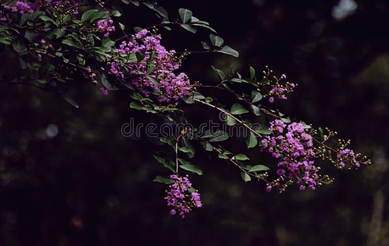 紫色绉绸桃金娘 免版税库存图片
