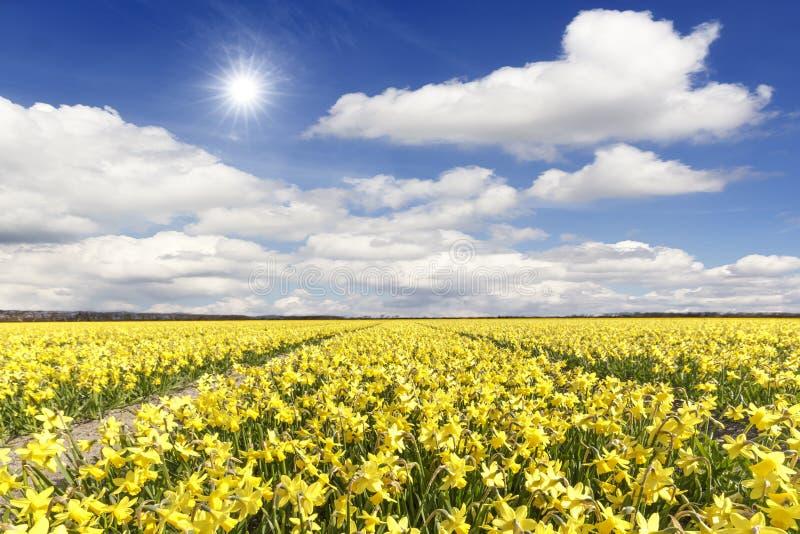 黄色黄水仙电灯泡领域 免版税库存图片